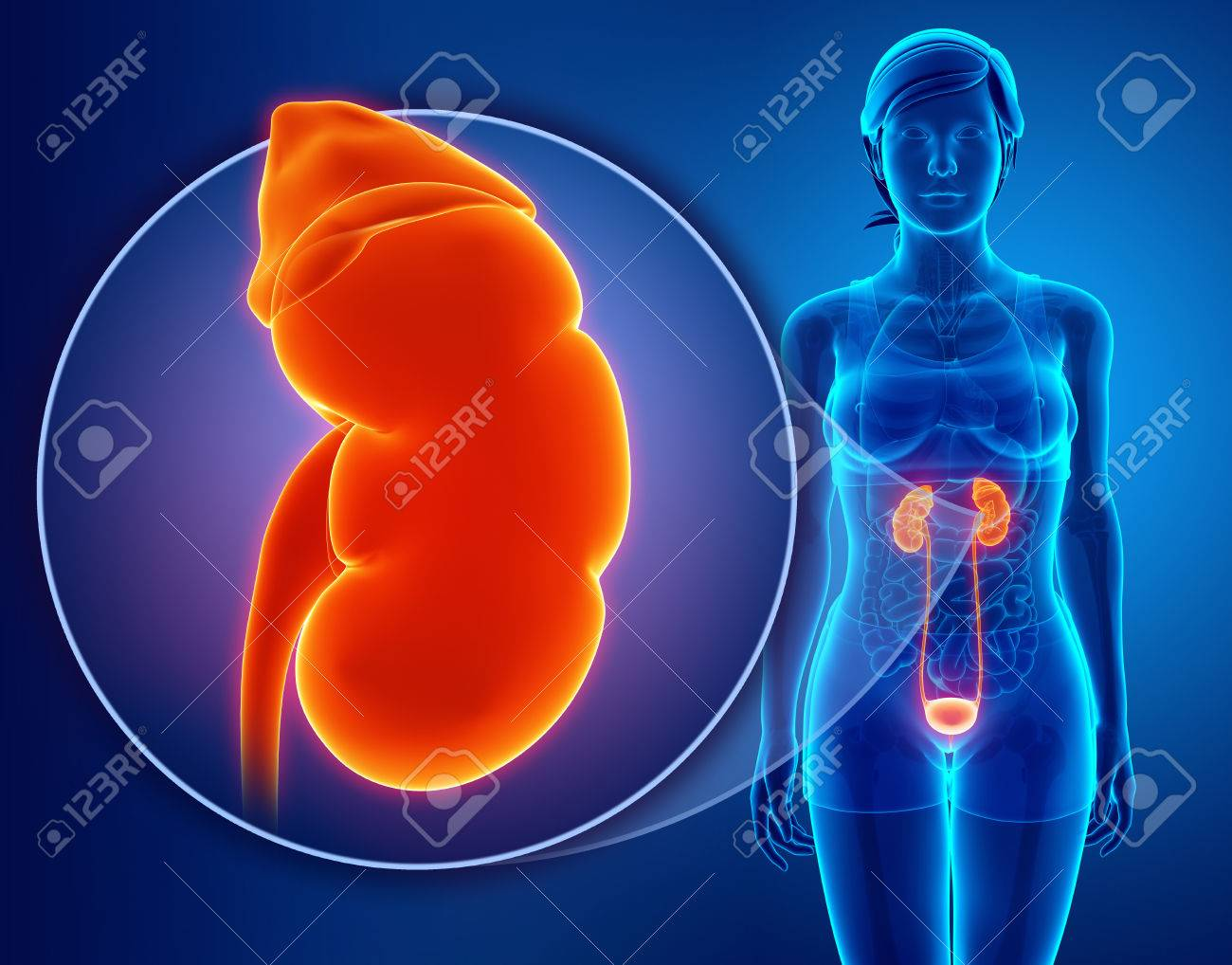 3d Render Of Human Kidneys Anatomy Stock Photo Picture And Royalty