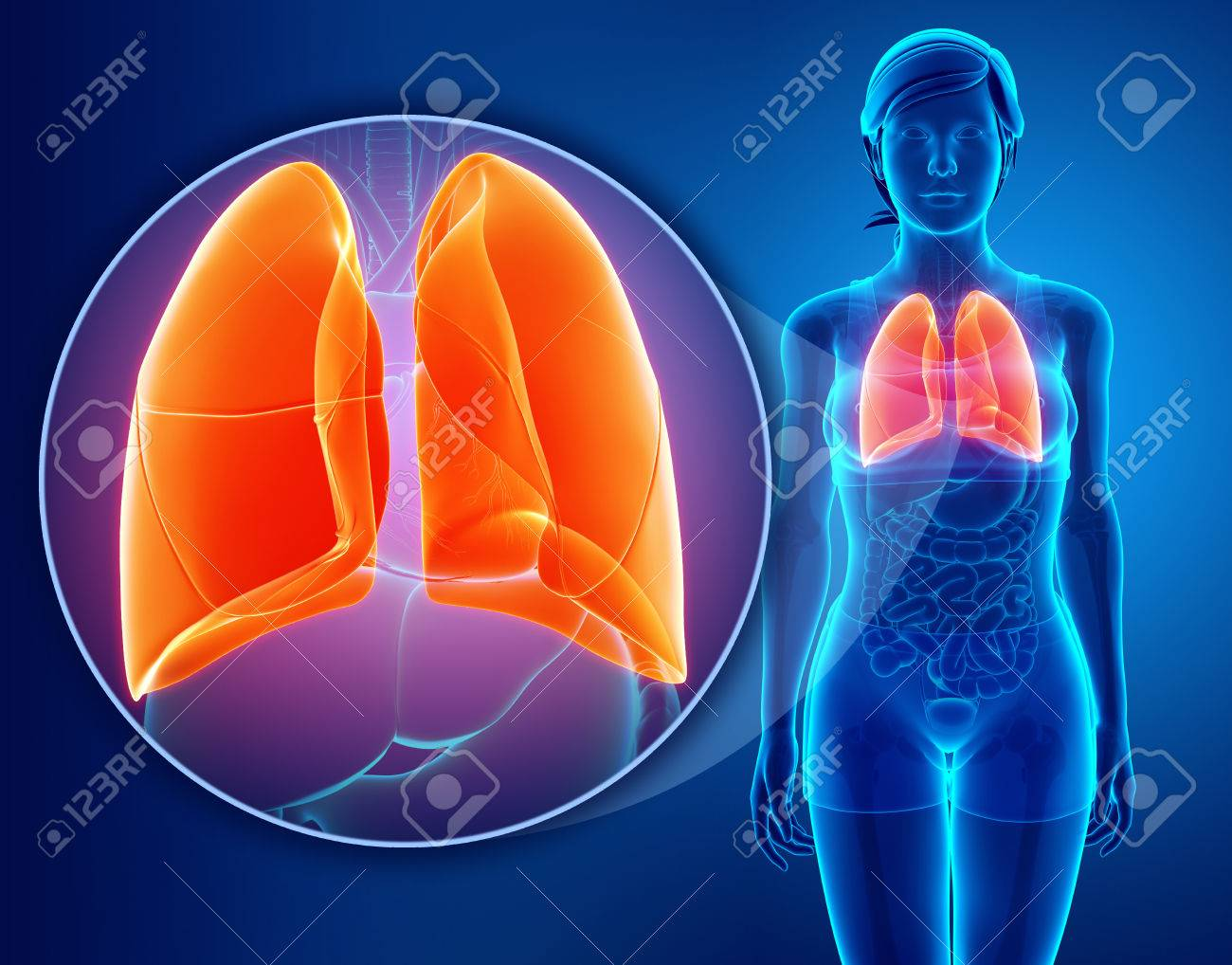 Anatomy Of Human Respiratory System With Lungs Stock Photo Picture