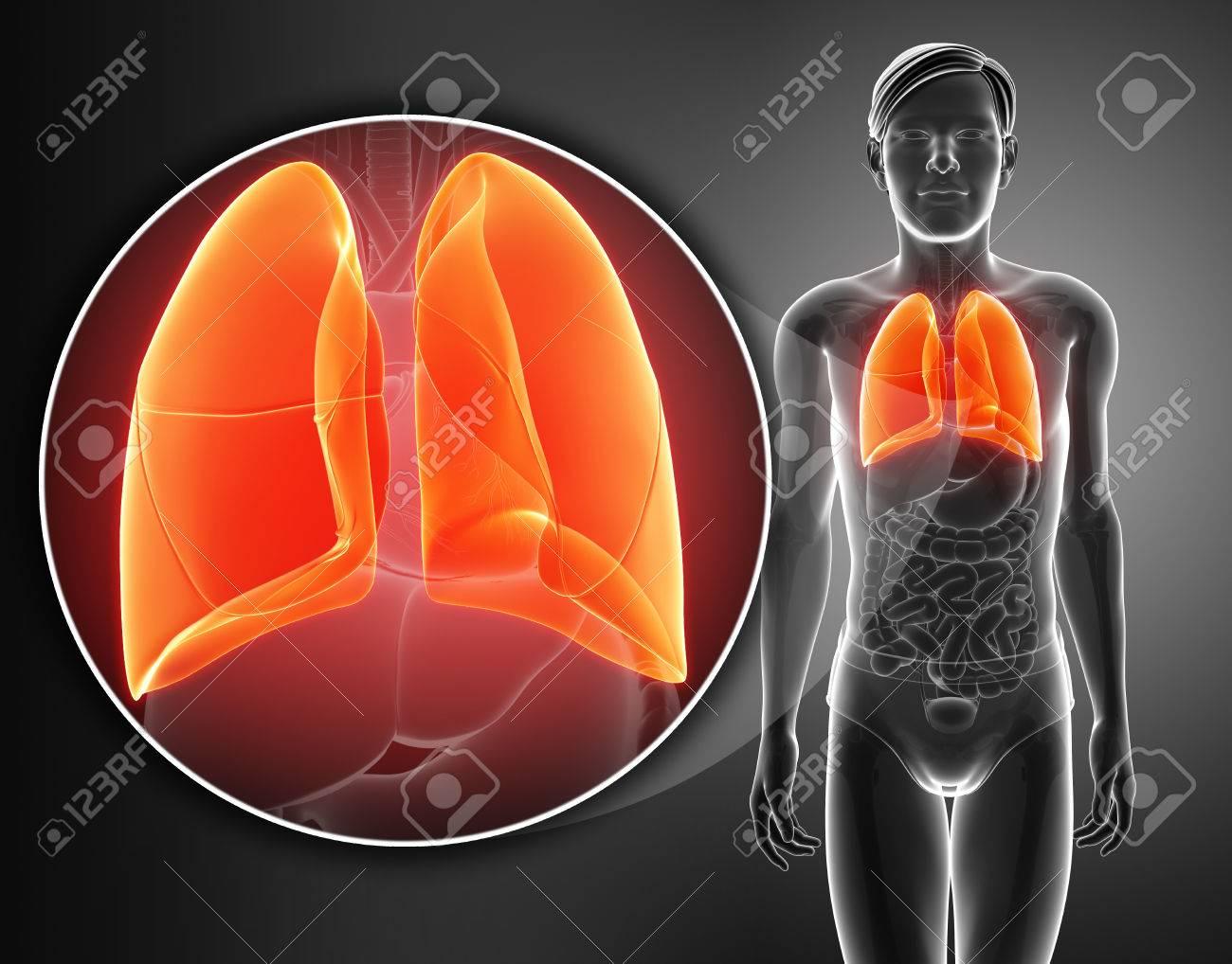 Anatomía Del Sistema Respiratorio Humano Con Los Pulmones Fotos ...