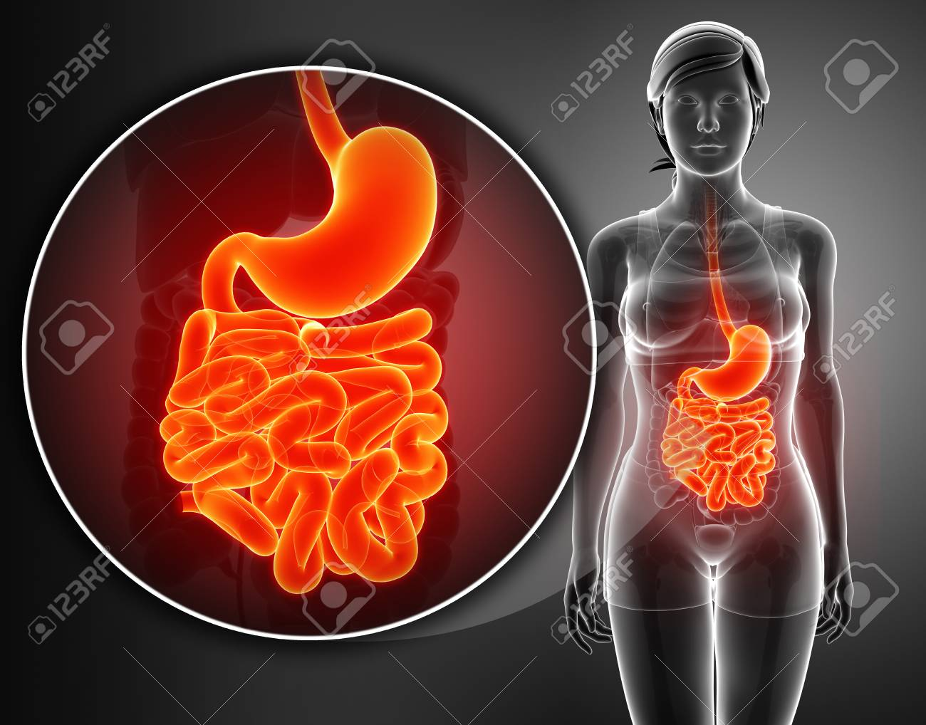 Small Intestine Anatomy Stock Photo Picture And Royalty Free Image