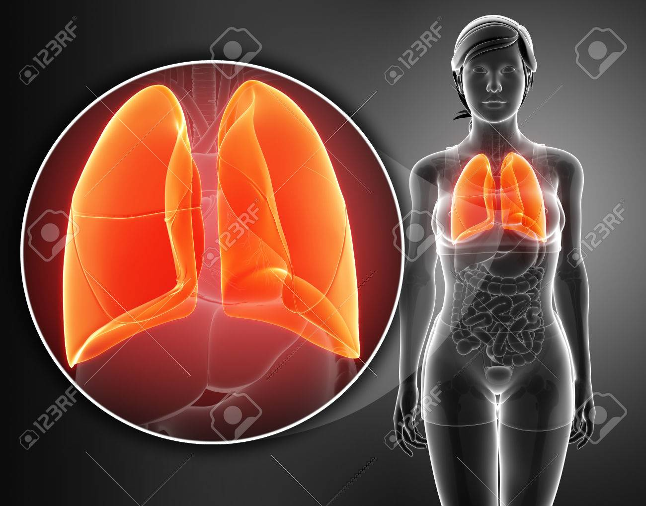 Anatomy Of Human Respiratory System With Lungs Stock Photo, Picture ...