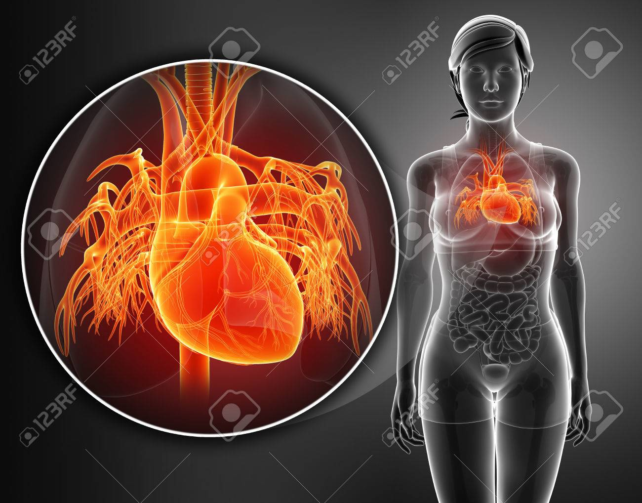 3d Render Of Human Heart Anatomy Stock Photo, Picture And Royalty ...