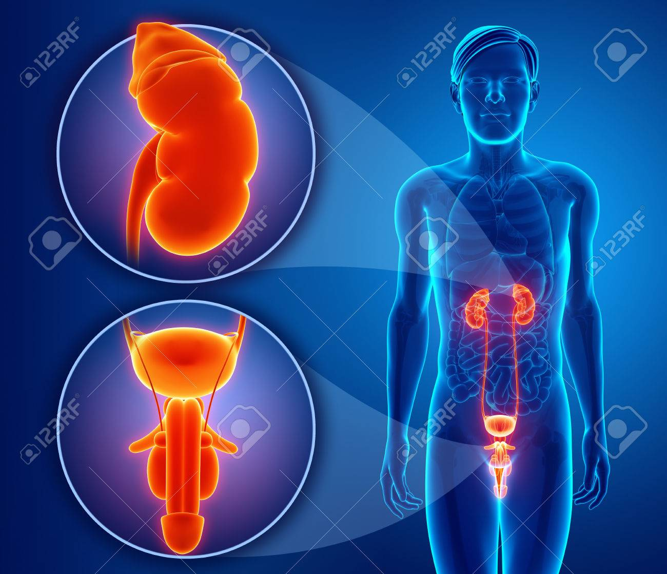 Male Reproductive System Stock Photo Picture And Royalty Free Image