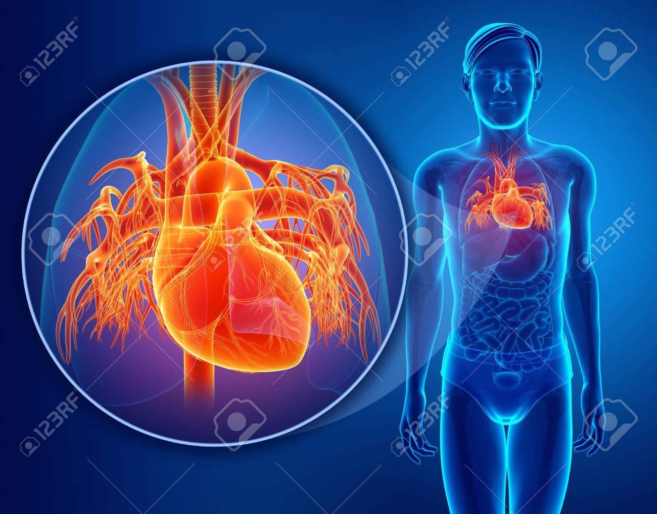 3d übertragen Von Der Menschlichen Herz-Anatomie Lizenzfreie Fotos ...