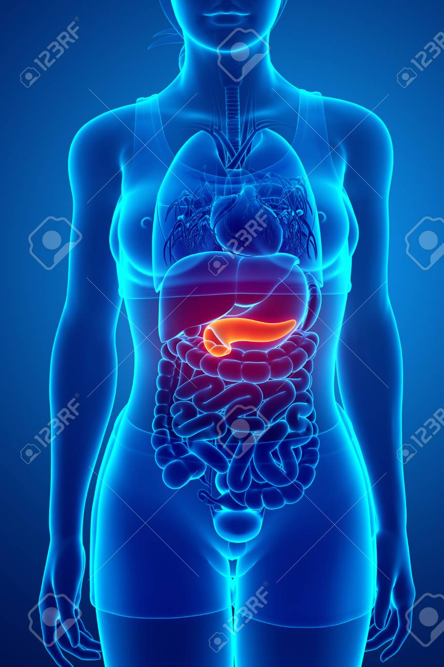 Pancreas Anatomy Stock Photo, Picture And Royalty Free Image. Image ...