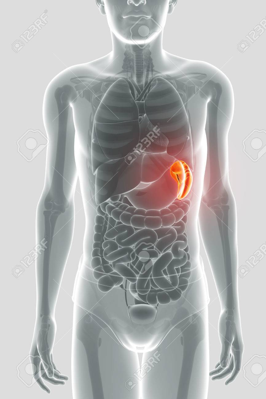 Human Spleen Anatomy Stock Photo Picture And Royalty Free Image