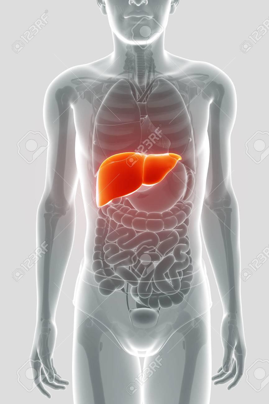 Bertragen Sie Von Male Leber Anatomie 3d Lizenzfreie Fotos, Bilder ...