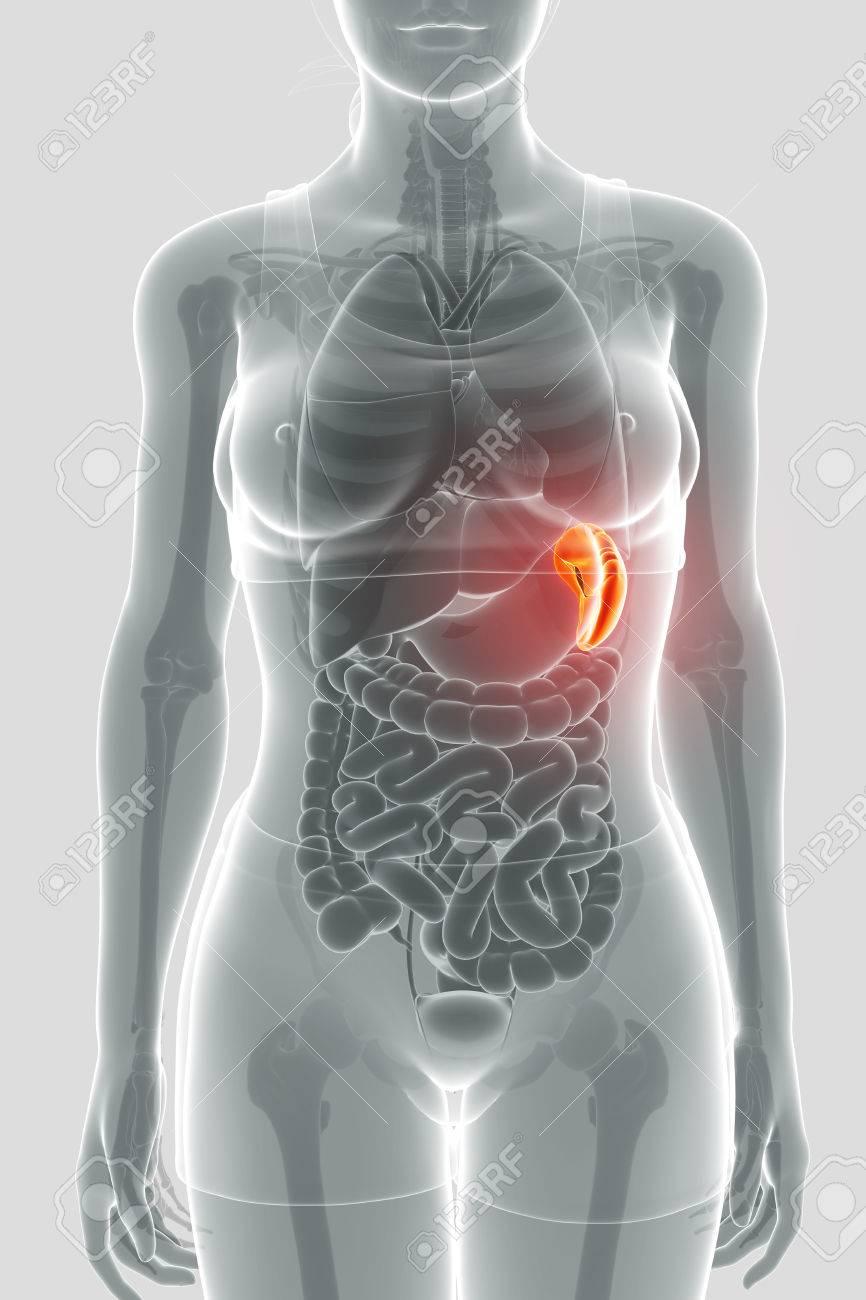 Anatomía Bazo Humano Fotos, Retratos, Imágenes Y Fotografía De ...