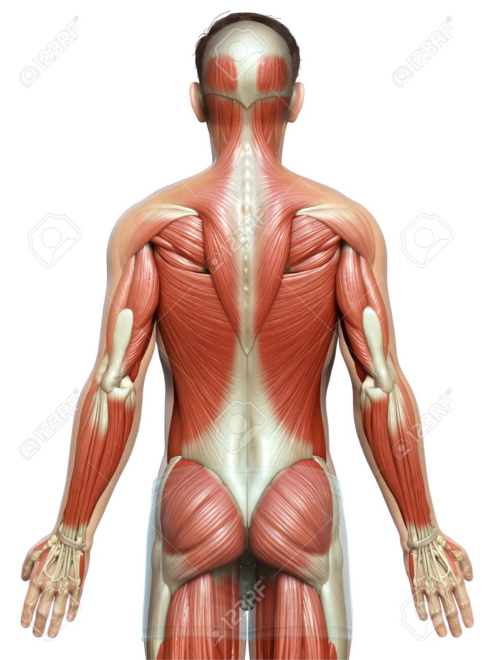 3d rendered medically accurate illustration of a male muscle system - 150962065
