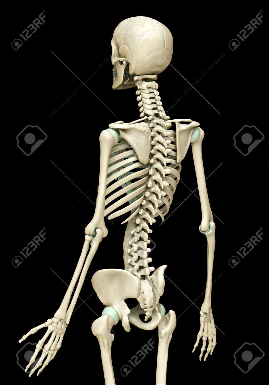 3d rendered, medically accurate illustration of the skeleton system - 151037826