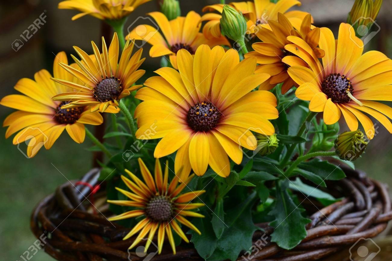 30a7f4d97 Beautiful Orange Calendula Flowers In A Basket Stock Photo, Picture ...
