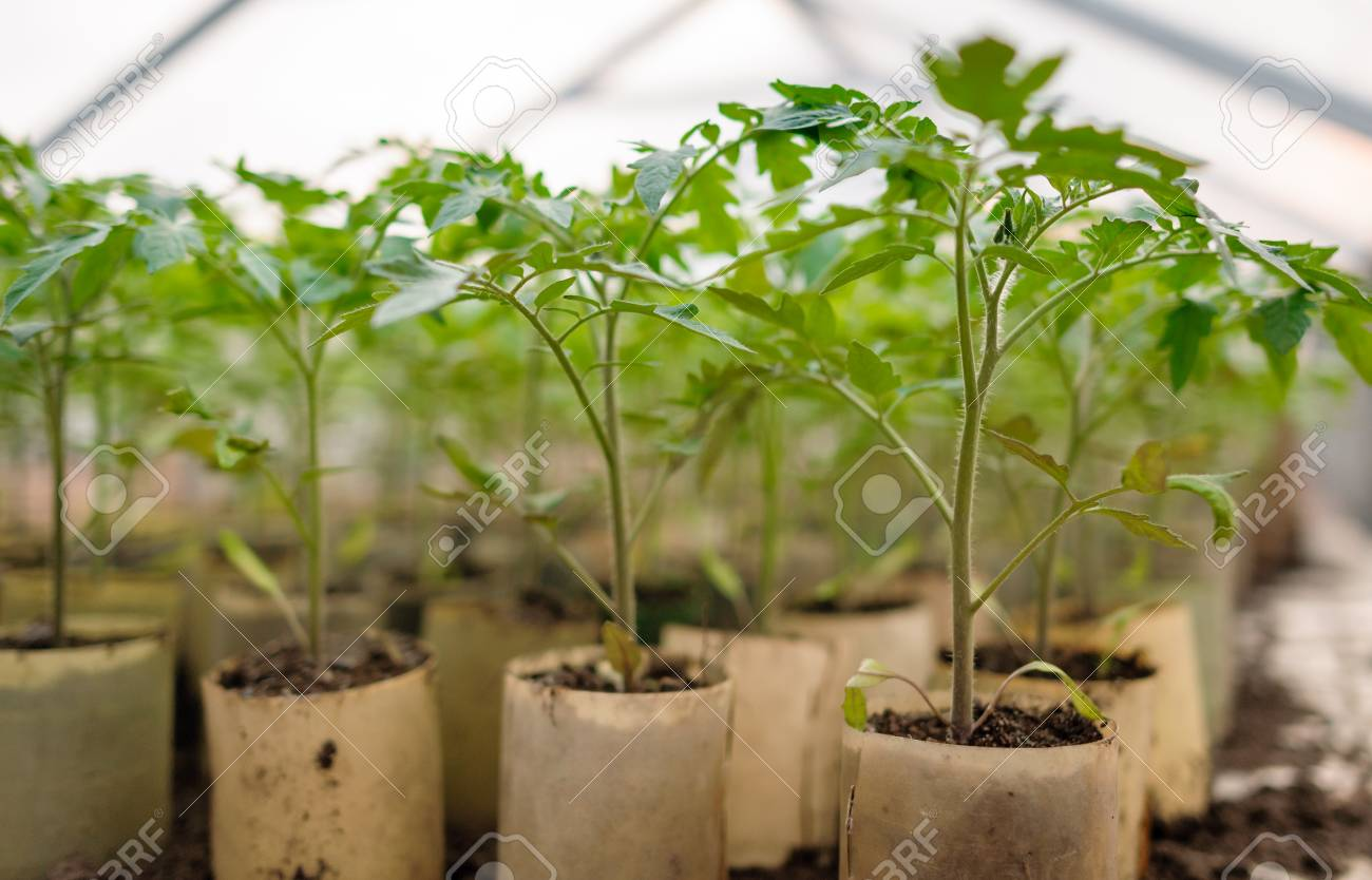 Young tomato plants in pots, natural organic farming in soil