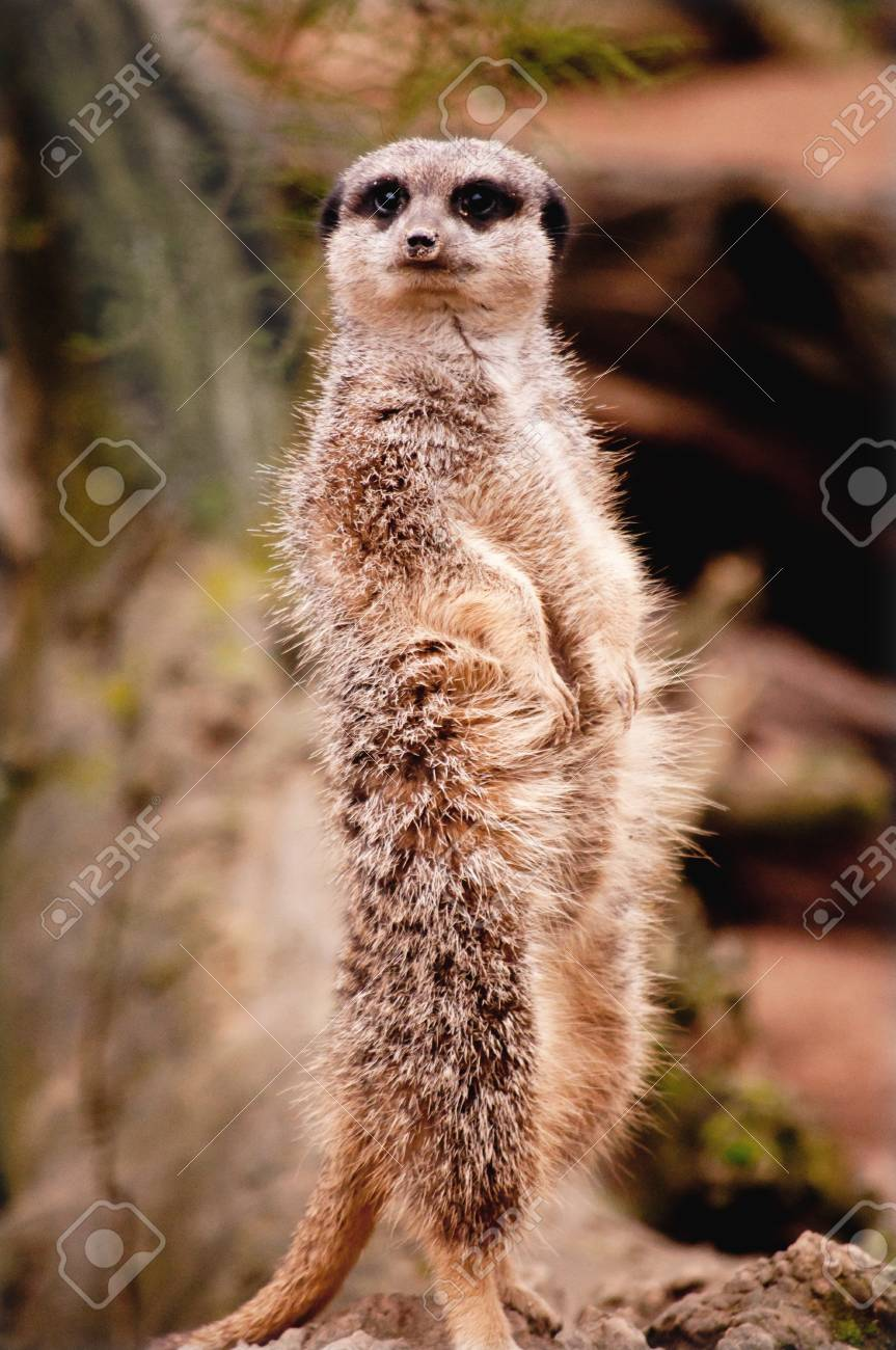 Meerkat standing on its hind legs Stock Photo - 16492235