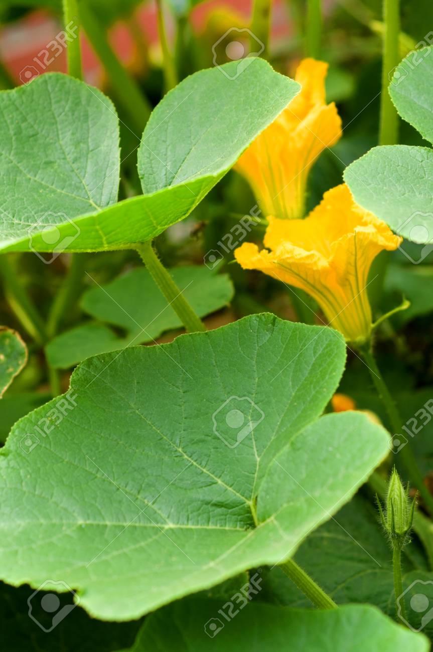 Kurbis Pflanze Mit Gelben Bluten Lizenzfreie Fotos Bilder Und Stock