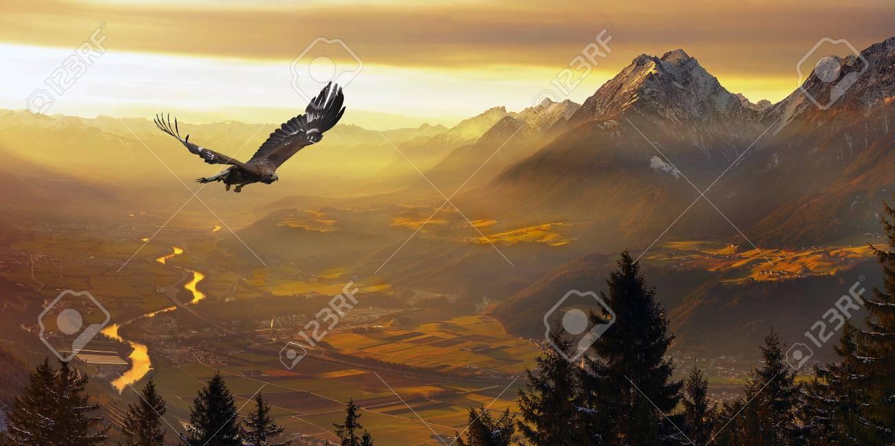 Golden Eagle flying in sunset - 93513340