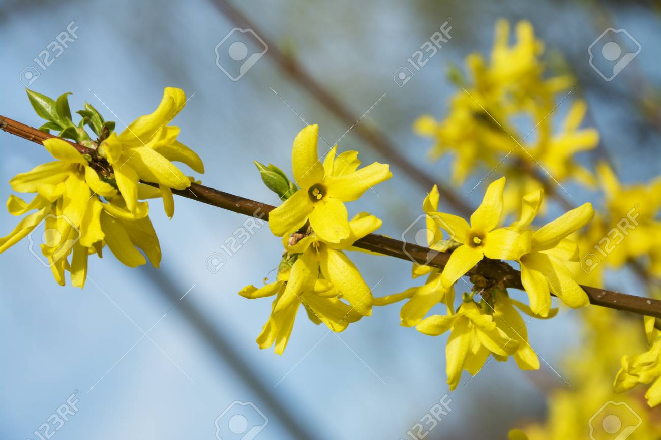 Forsythia a beautiful spring bush with yellow flowers stock photo forsythia a beautiful spring bush with yellow flowers stock photo 39292802 mightylinksfo