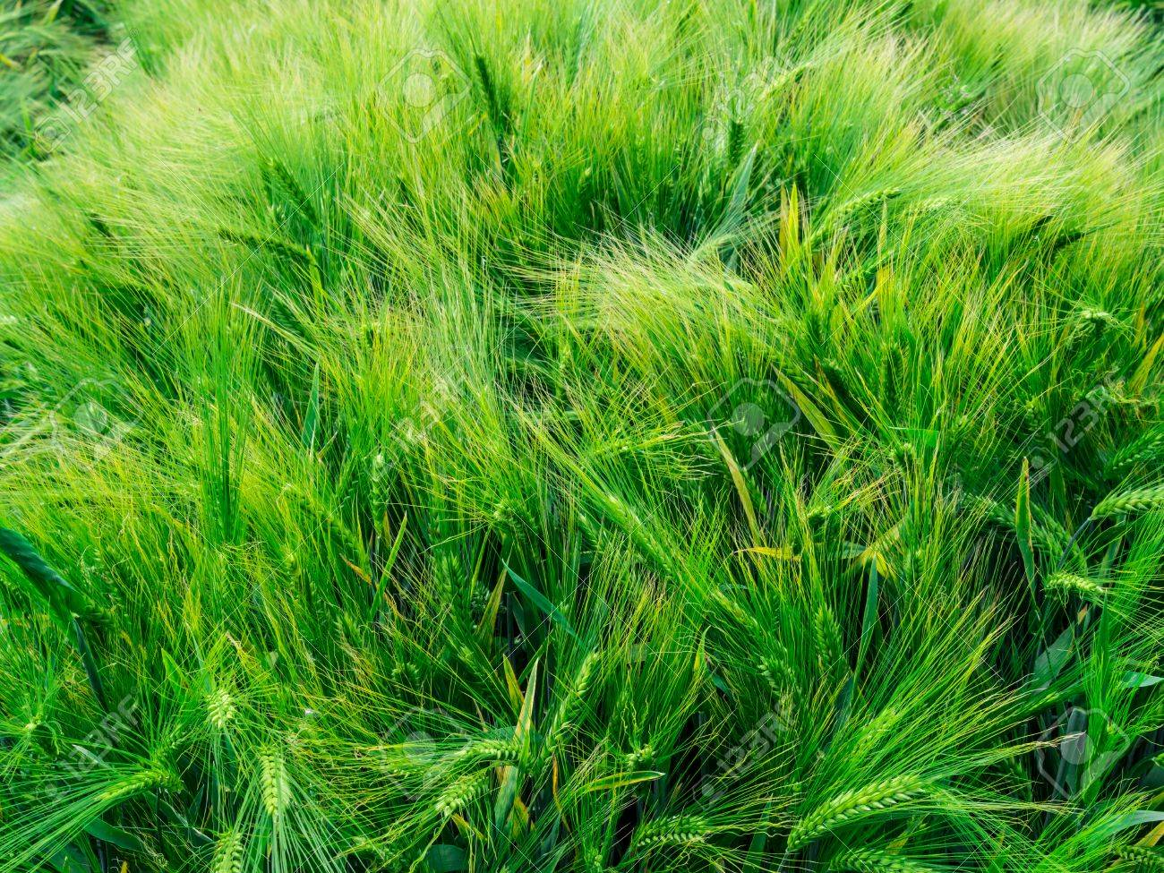 Green Barley Awns In June Stock Photo