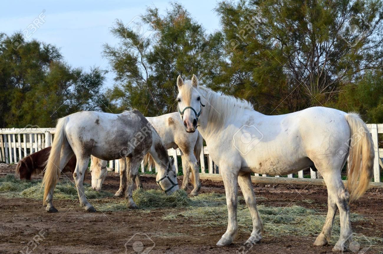 banque dimages sans animaux ferme herbe cheval cheval cheval blanc chevaux de poney gratuit quitation cheval blanc cheval poney mange cheval de course - Cheval Gratuit