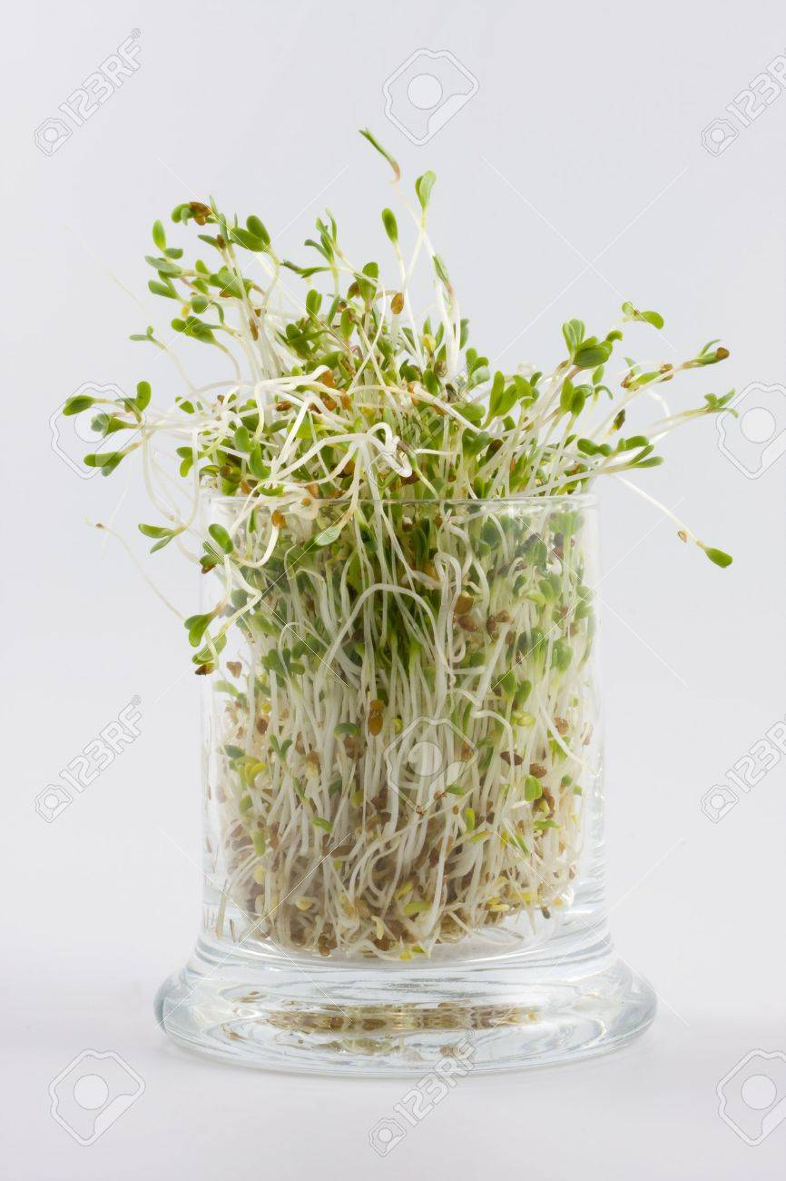 Green alfalfa sprouts growing in a glass on white background Stock Photo - 2412965