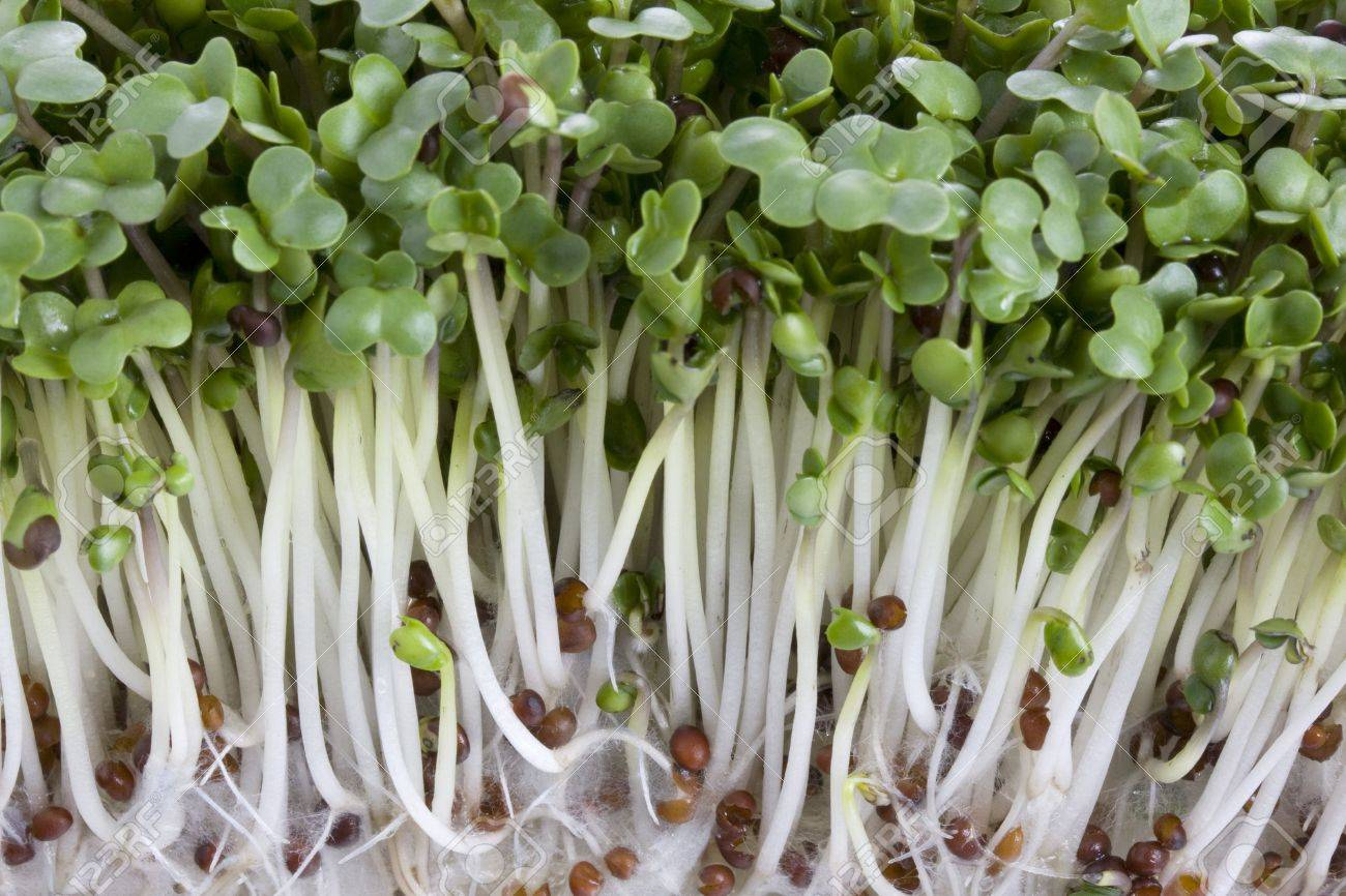 Macro shot of broccoli sprouts growing Stock Photo - 2623506