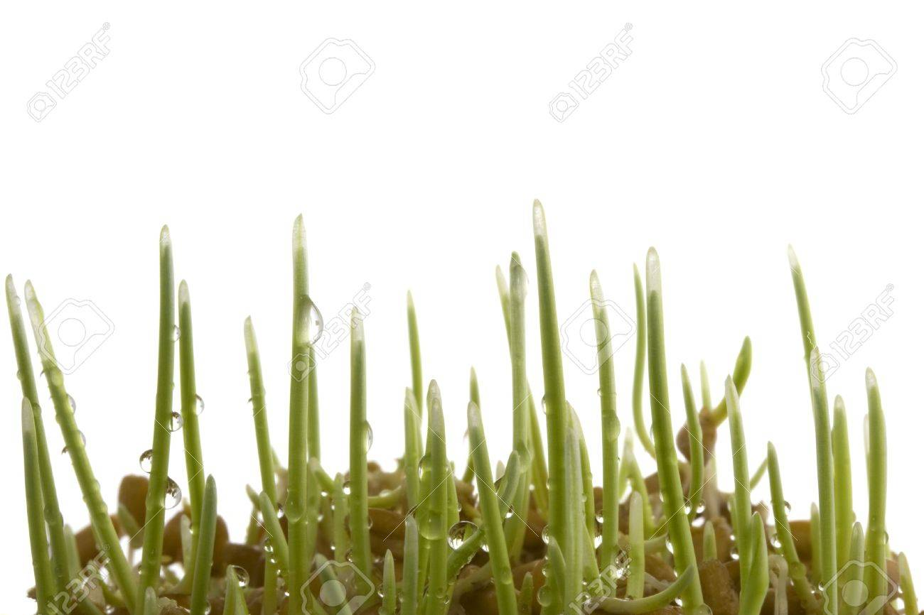 seeds of hard red winter wheat sprouting and growing, water drops, isolated on white Stock Photo - 3815551