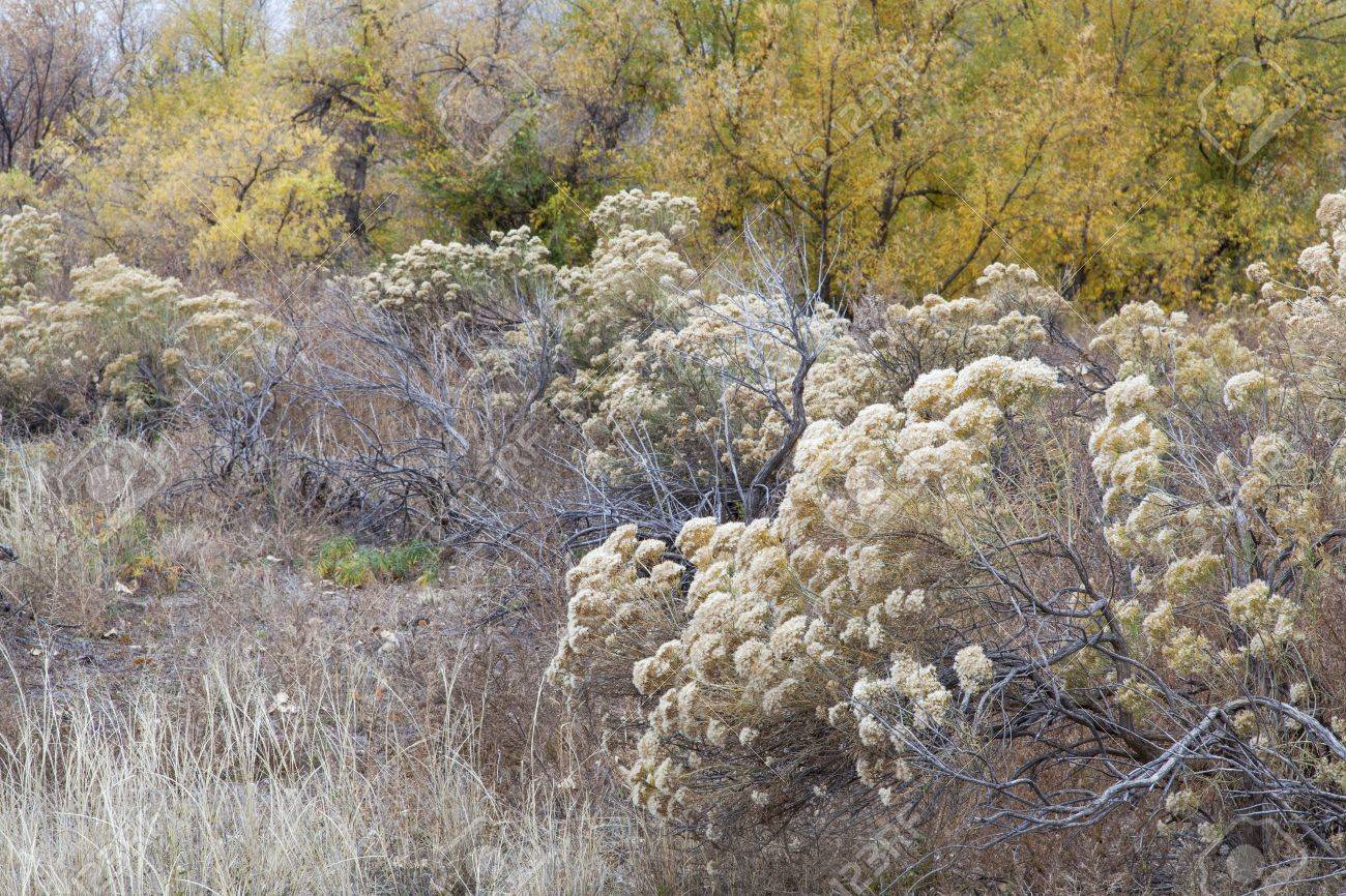 rabbitbrush, dry grass and cottonwood along Cache la Poudre River in Fort Collins, Colorado, late fall scenery Stock Photo - 15934817