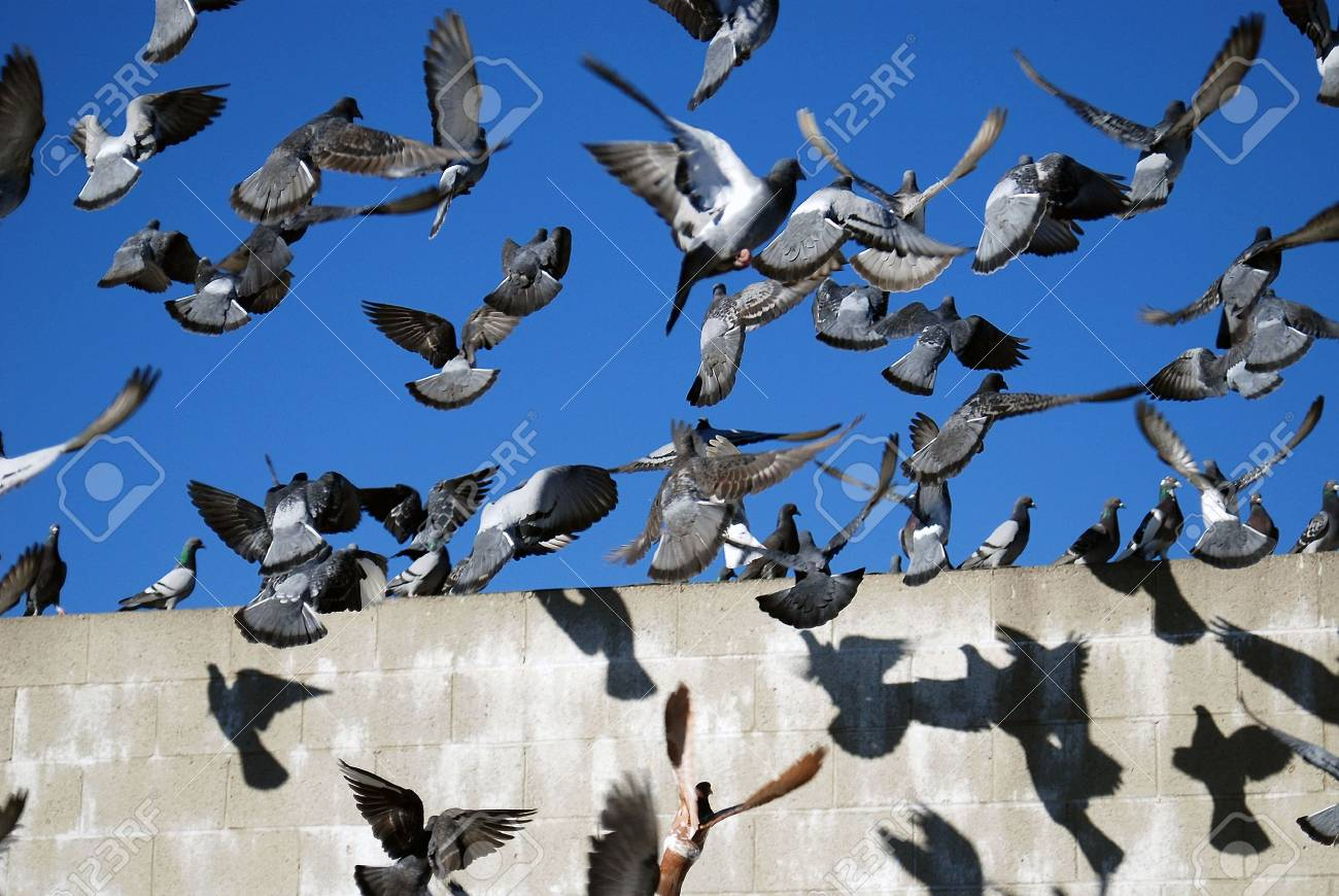 Chaotic Pigeons Stock Photo - 2055848