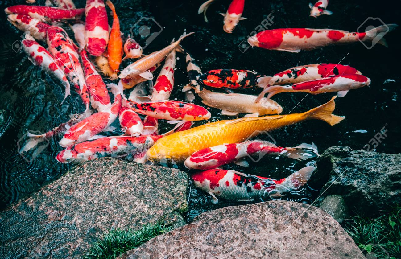 Colourful And Golden Koi Carp Fish In Japanese Garden Pond With Stock Photo Picture And Royalty Free Image Image 96708495