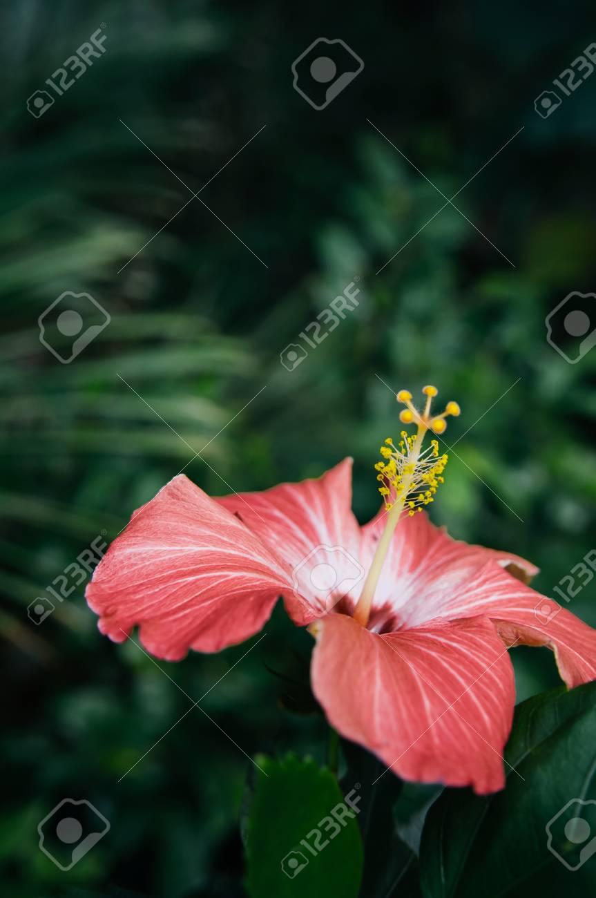 Beautiful Vertical Shot Of Pink Hibiscus Flower Chinese Hibiscus
