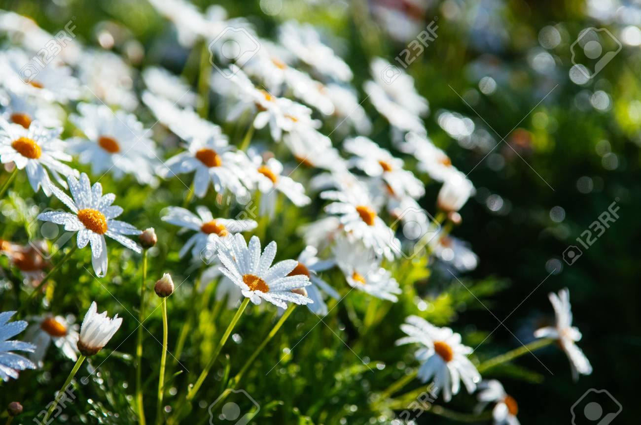 White Mums Flowers Or Chrysanthemum Japonense In Garden With Stock