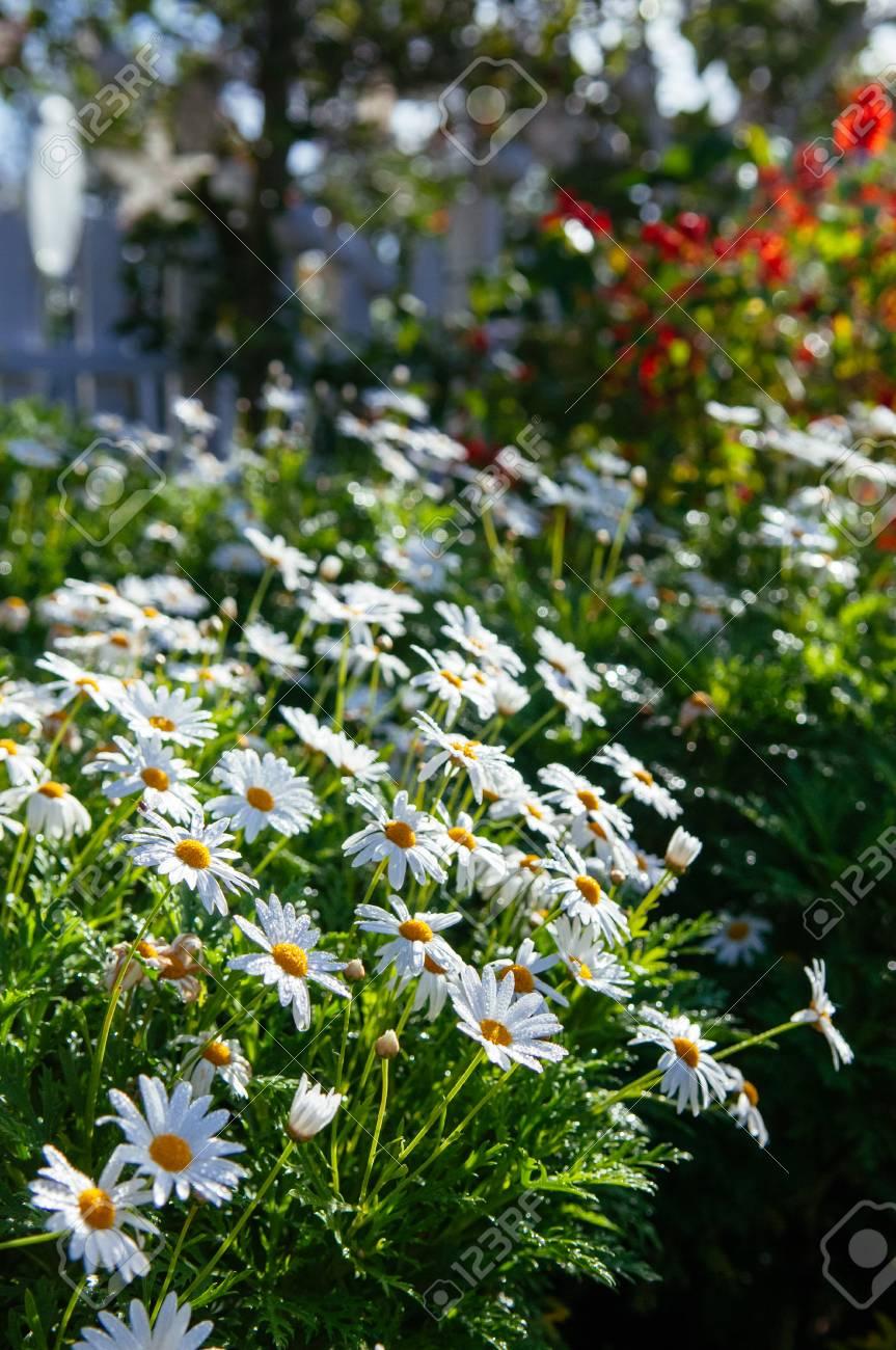 White mums flowers or chrysanthemum japonense in garden with stock stock photo white mums flowers or chrysanthemum japonense in garden with beautiful morning light in spring season mightylinksfo