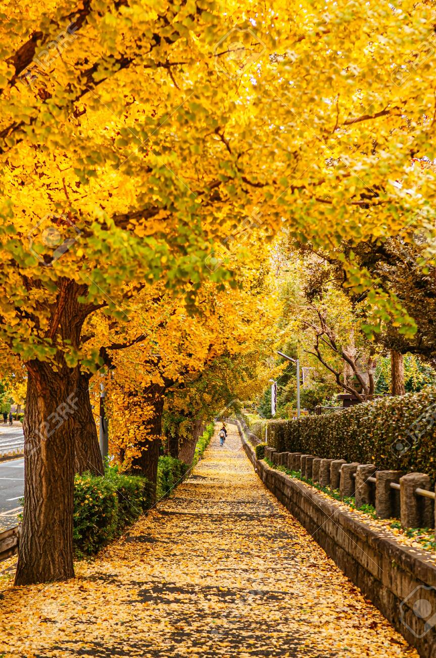 Tokyo yellow ginkgo tree tunnel near Jingu avenue in autumn. Famous attraction in November and December - 129548386