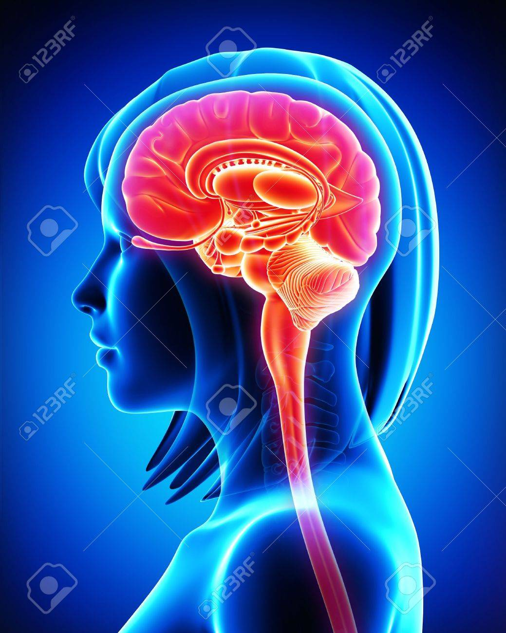 Brain Anatomy - Cross Section Stock Photo, Picture And Royalty Free ...