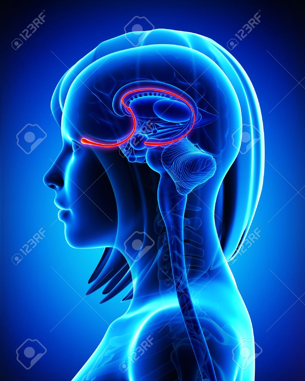Brain Anatomy Olfactory Bulb Cross Section Stock Photo Picture