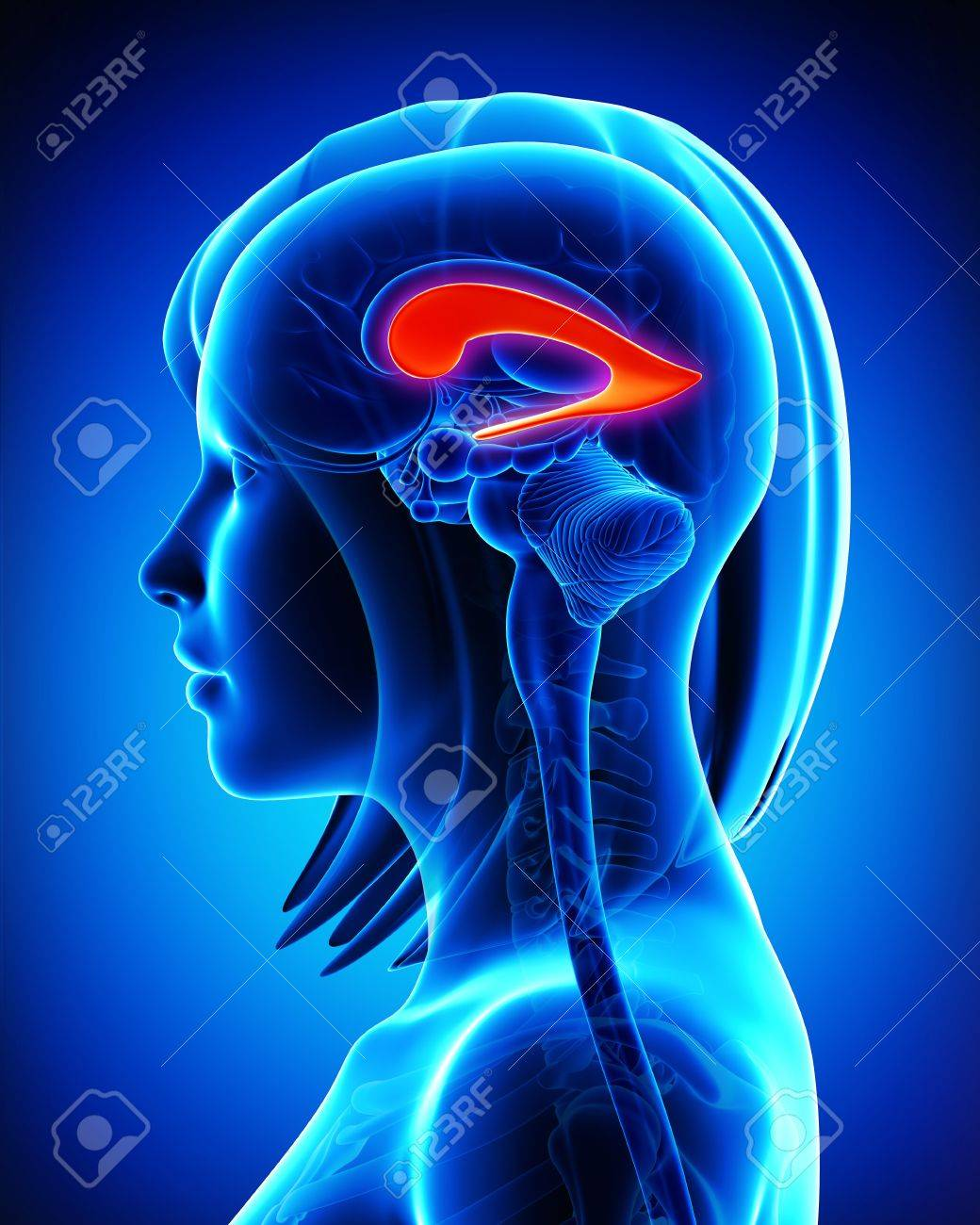 Anatomy Of Brain Of Lateral Ventricle Stock Photo, Picture And ...