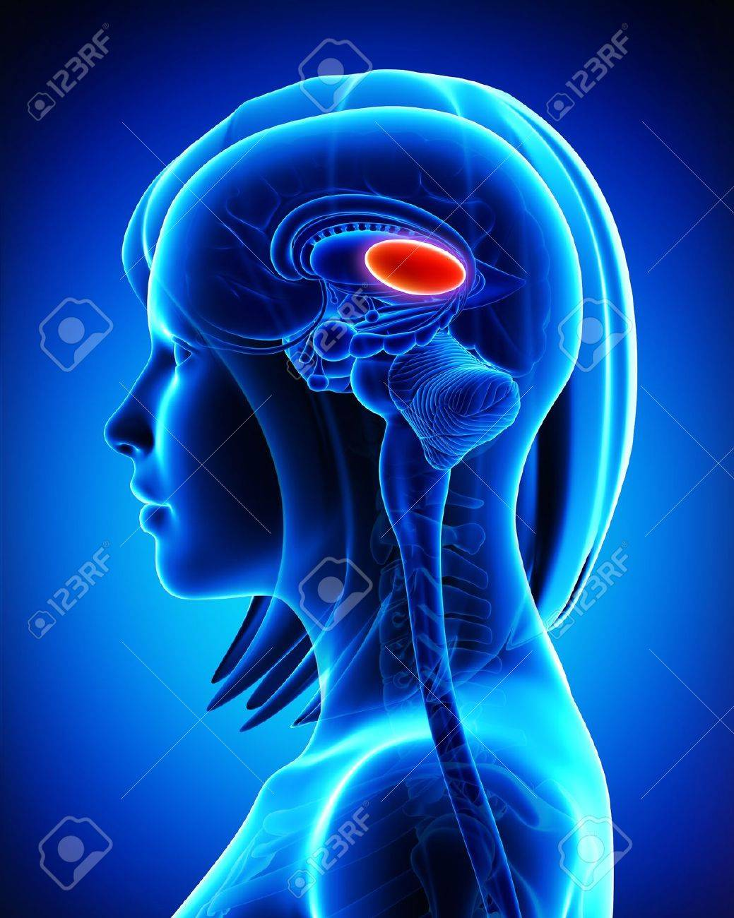 Anatomy Of Brain S Thalamus, L- Cross Section Stock Photo, Picture ...