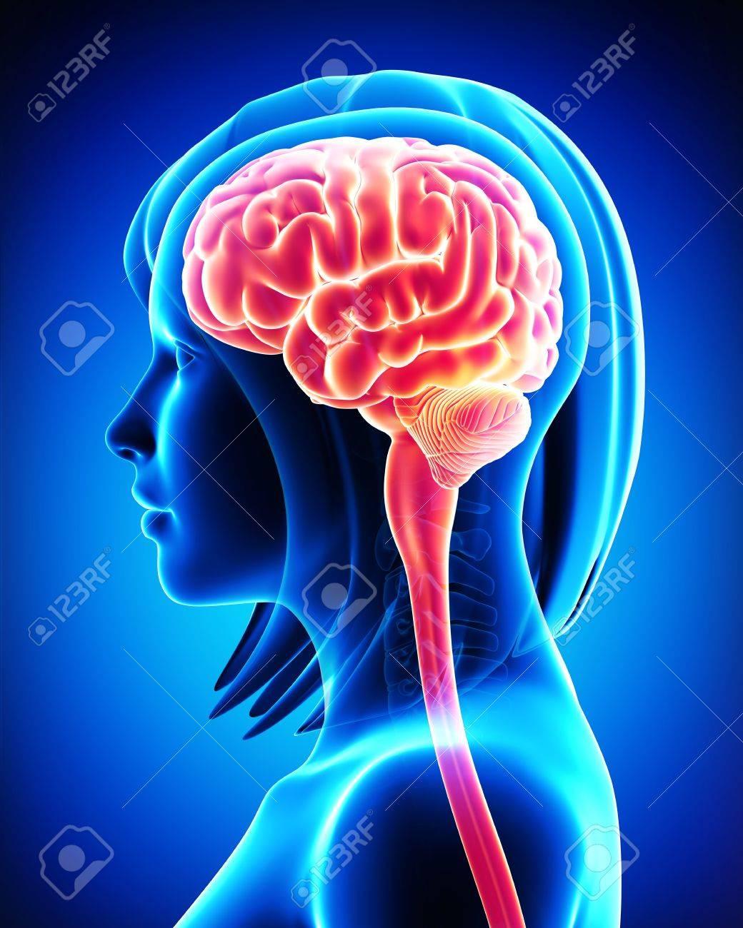 Anatomie Des Gehirns - Querschnitt Von Außen Lizenzfreie Fotos ...