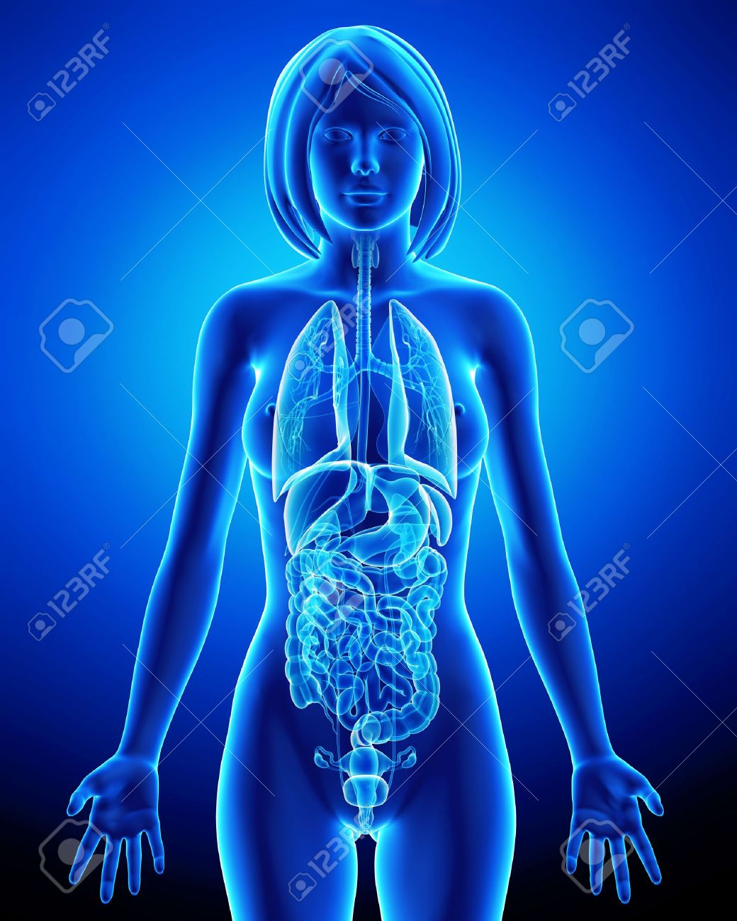 All Organs Of Female Body In Blue X-ray Loop Stock Photo, Picture ...