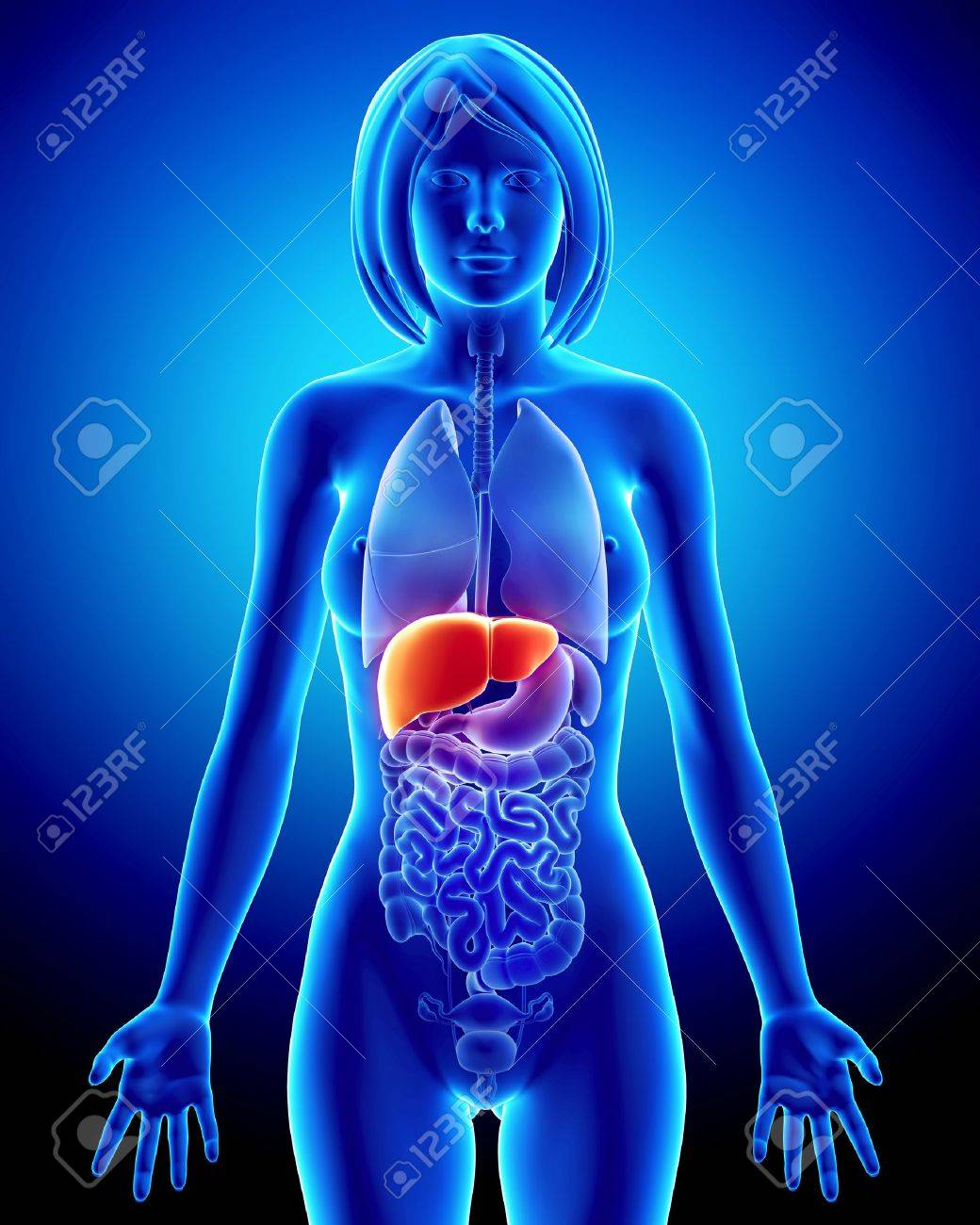Anatomy of female liver in blue x-ray Stock Photo - 14603597