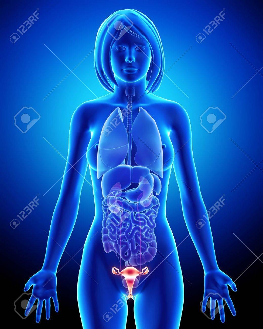 Weibliche Anatomie Blase In Blau Röntgen-Schleife Lizenzfreie Fotos ...