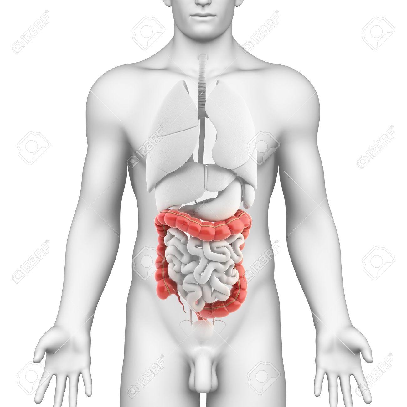 Colon Anatomie Der Männlichen Verdauungssystem Lizenzfreie Fotos ...