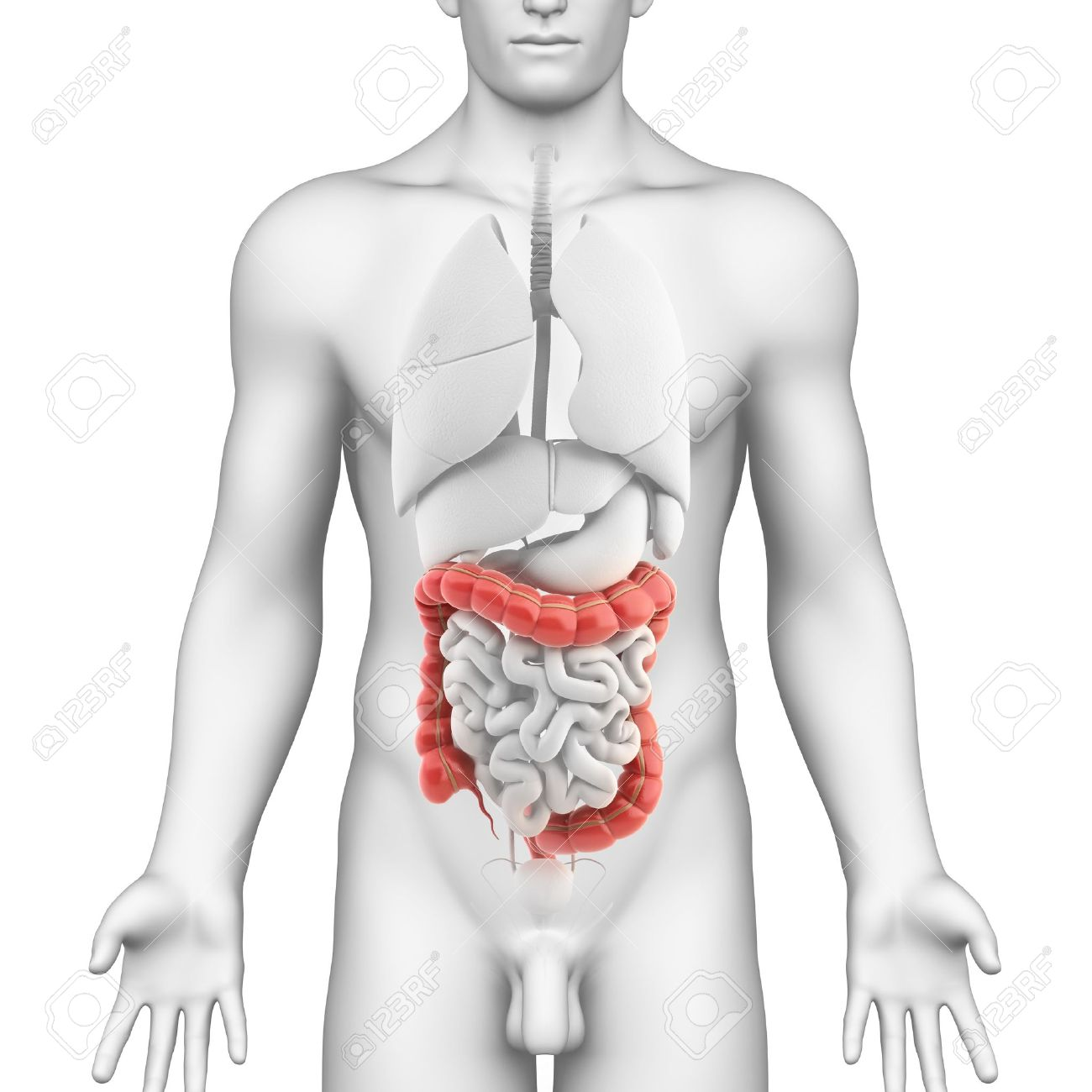 Colon Anatomy Of Male Digestive System Stock Photo, Picture And ...