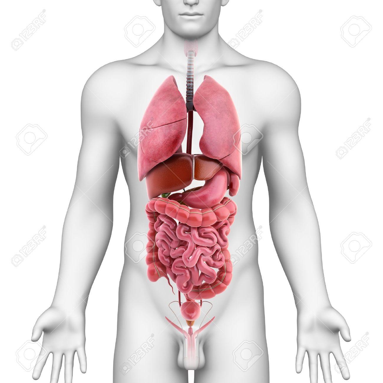3d Illustration Of All Internal Organs Of Male Body 3d Illustration ...