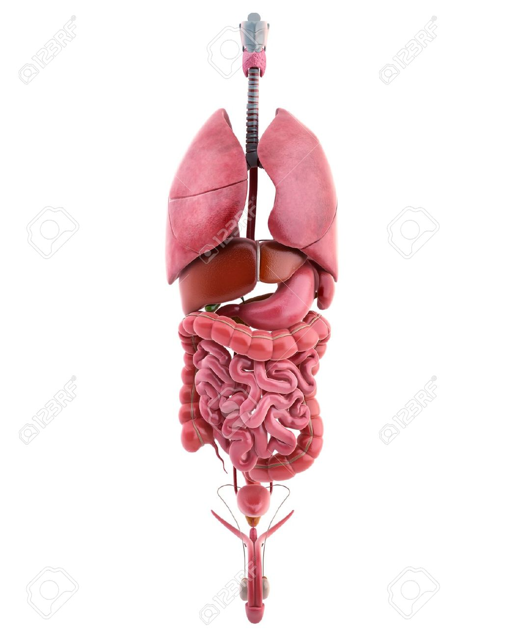 3d Illustration Of Internal Organs Of Male Body Stock Photo, Picture ...