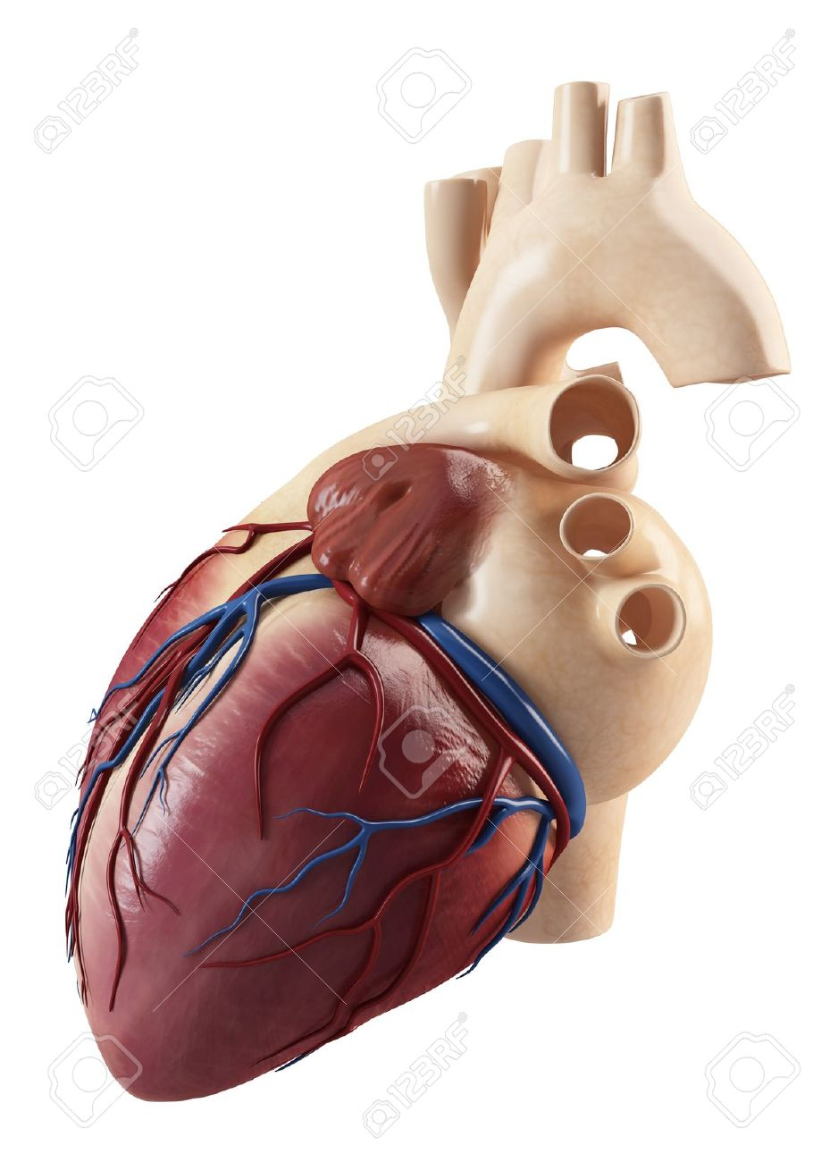 Anatomy Of Side View Of The Human Heart Andinterior Structure Stock