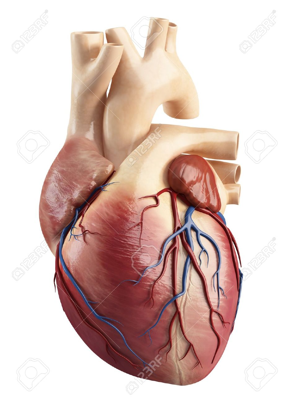 Front View Of The Anatomy Of Heart Interior Structure Stock Photo