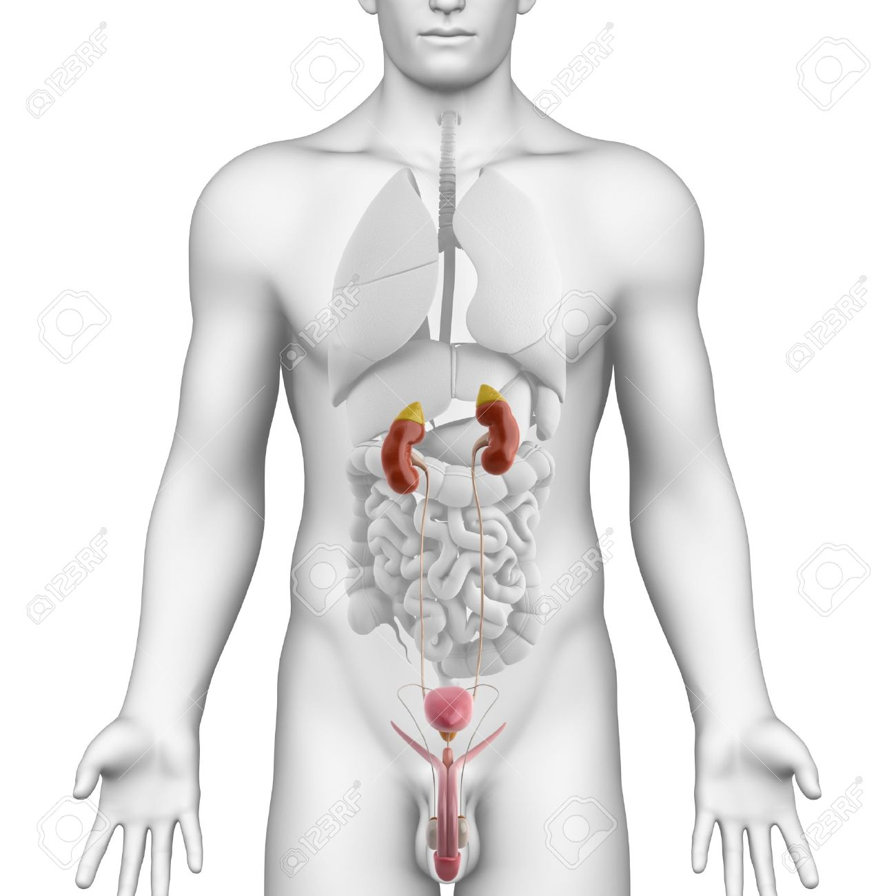 Male UROGENITAL TRACT Anatomy Illustration On White ANGLE VIEW Stock ...