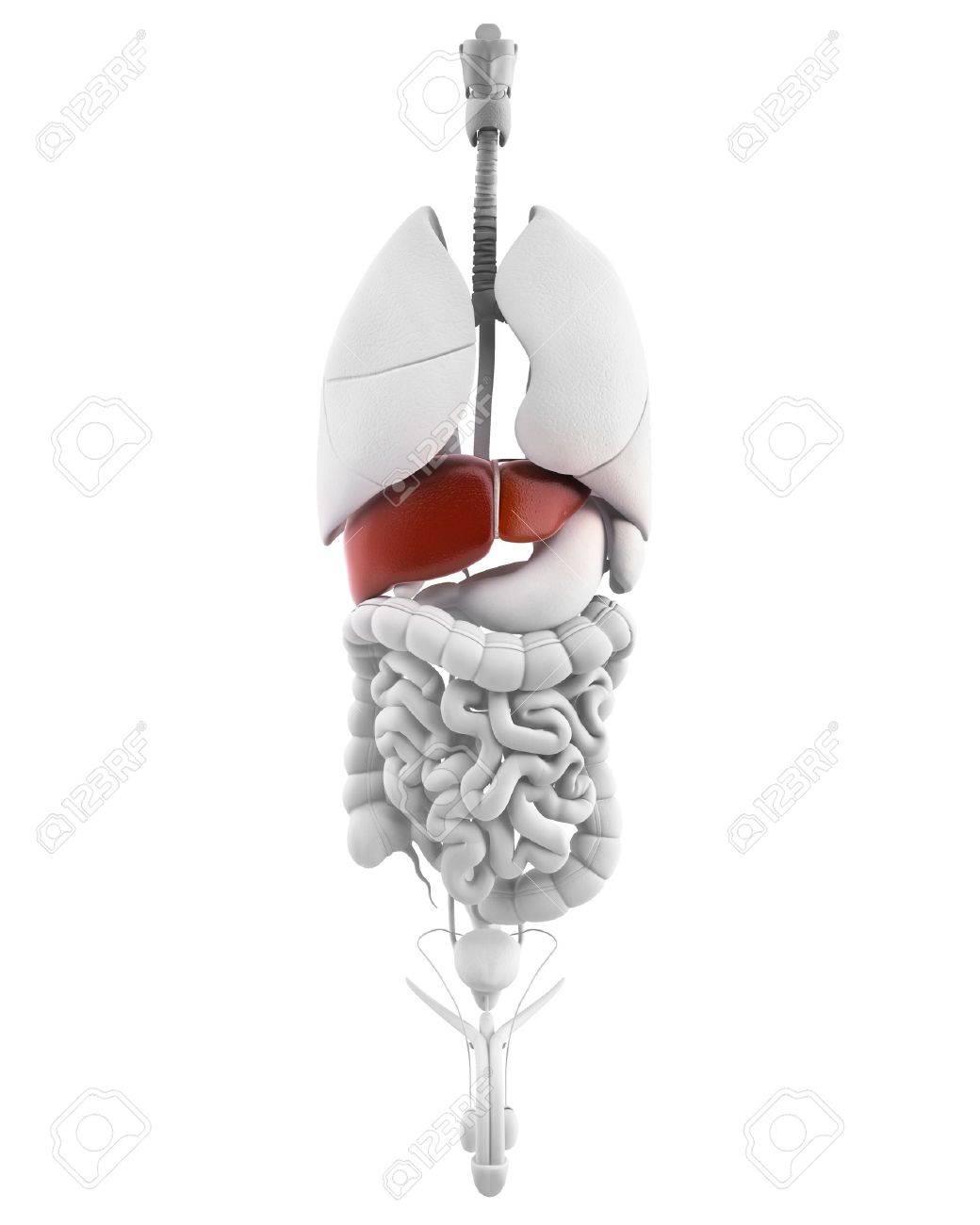 Rgano Hígado Male - Vista Interior Con Hígado órgano De Cuerpo ...