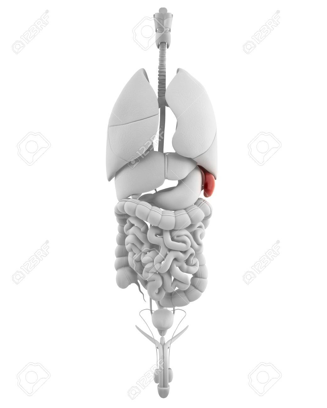 Male spleen and abdominal organs without body Stock Photo - 14671632