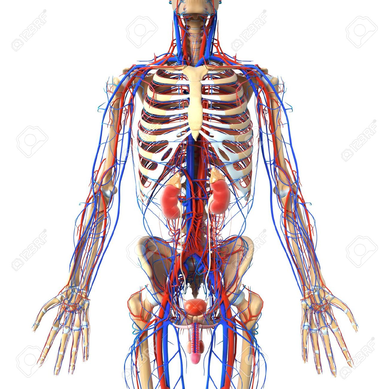Anatomy Of Urinary System With Veins And Skeleton Stock Photo ...